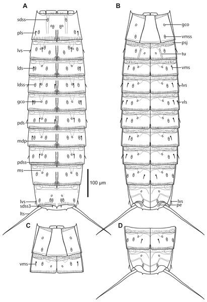 Line art illustrations of Cristaphyes scatha sp. nov.