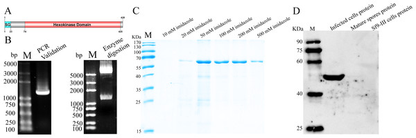 Expression and analysis of NbHK.