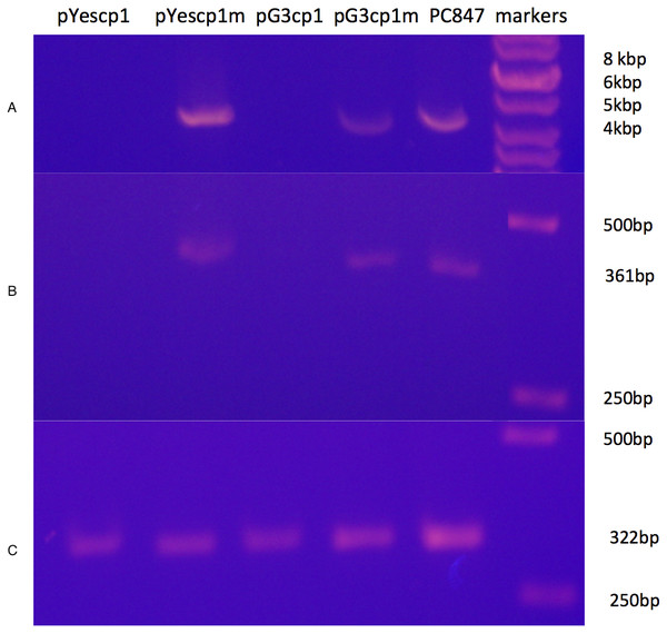 Curing of ScVL1(ScVLA) by expression of DhVcp1.