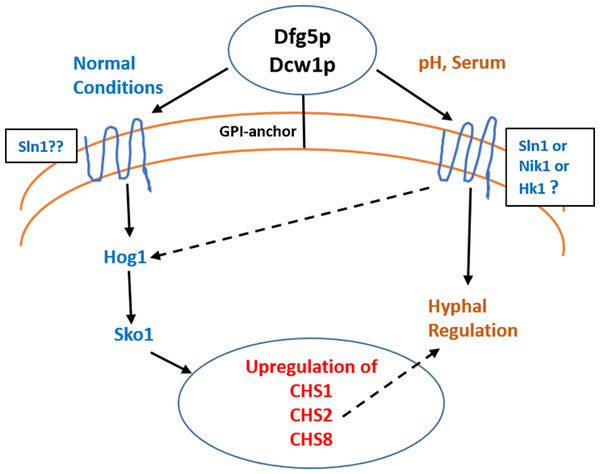 Dfg5p and Dcw1 functional role in regulating hyphal morphogenesis and HOG MAPK pathway.