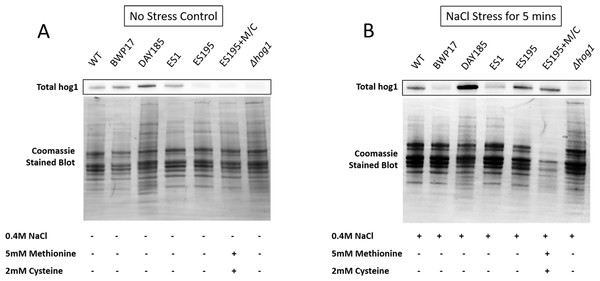 DFG5 and DCW1 are required for basal Hog1 levels.