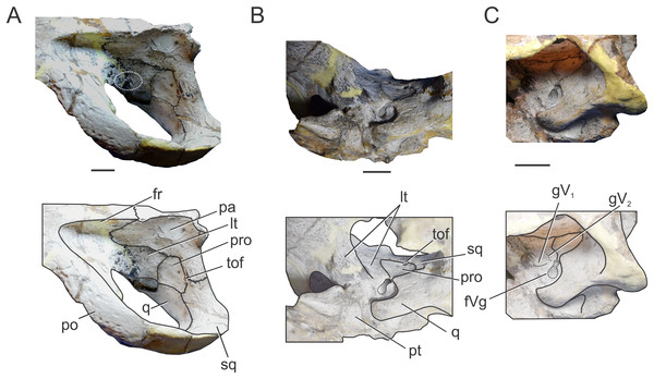 Braincase of C. araucanensis (MLP 72-IV-7-1).