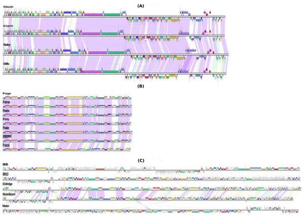 Genomic organization of Bacillus megaterium phages.