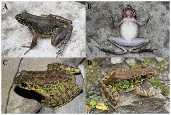 Color variations in Odorrana kweichowensis sp. Nov.