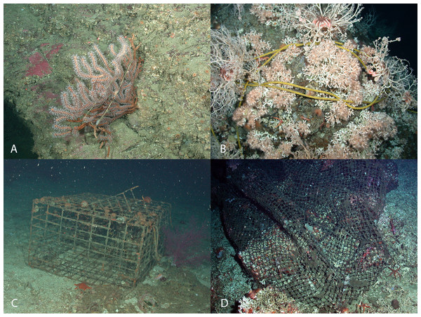 Interactions between fishing debris and deep-water coral in Southern California Bight.