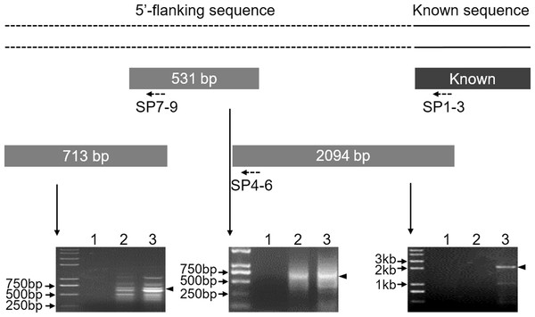 Cloning of the 5′-flanking sequence of the Mractb1 gene.