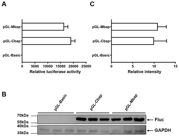 Mractb1 promoter demonstrates comparative activity with carp actb1 gene promoter.