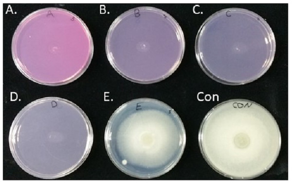 Inhibition of spore germination and the resulting mycelial growth on potato dextrose agar (PDA) plates using different concentrations of Virkon-S.