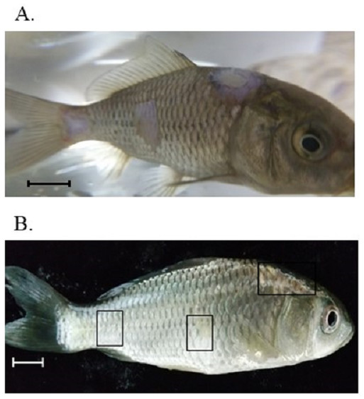 Artificial induction of saprolegniasis in common carp and treatment with Virkon-S.