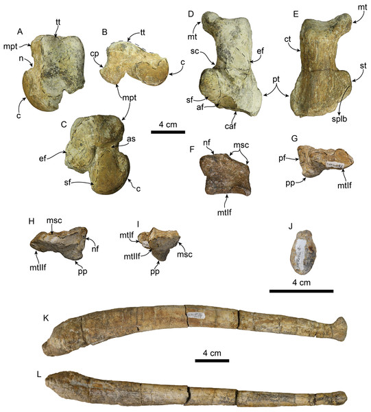 Hindlimb elements and baculum of Titanotaria orangensis n. gen. et sp. (OCPC 11141).