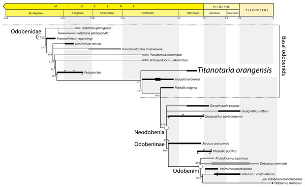 Preferred phylogenetic tree showing position of Titanotaria orangensis n. gen. et sp. (OCPC 11141).
