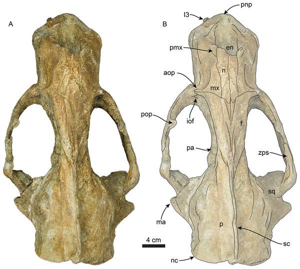 Skull of Titanotaria orangensis n. gen. et sp. (OCPC 11141).