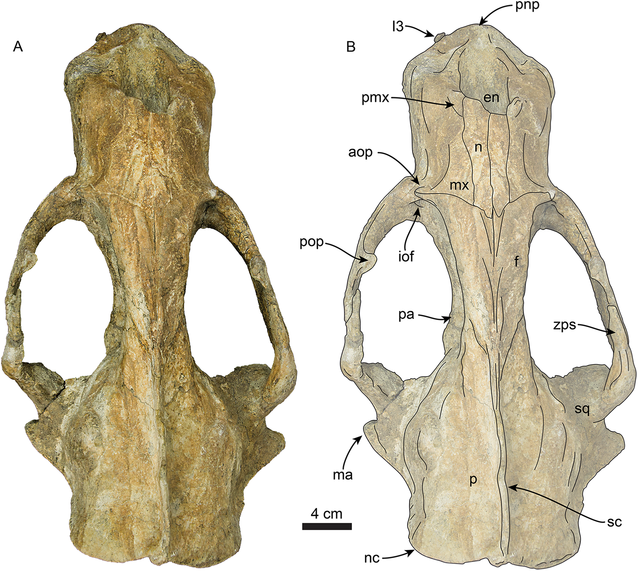 724bf31510 A new tuskless walrus from the Miocene of Orange County, California ...