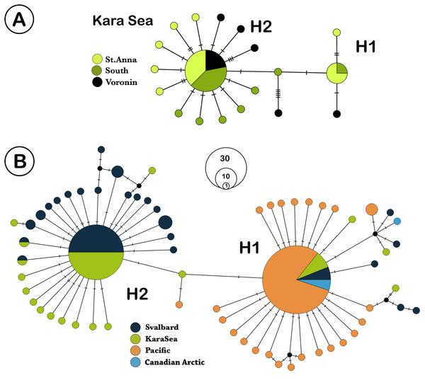 TCS network of Limacina helicina haplotypes.