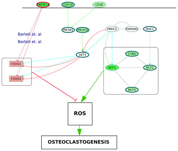 A schematic of enhanced ROS production mediating differentiation of osteoclasts in the RA synovium.