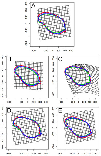 Thin plate spline (TPS) grids of consensus shapes of superimposed Procrustes coordinates.