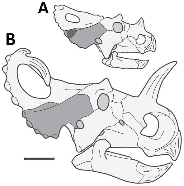 Reconstructed skull of a juvenile Centrosaurus apertus.