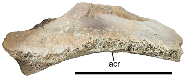 Supraacetabular crest of the right ilium of UMNH VP 28348.