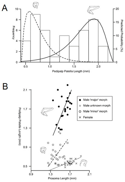 Patterns of differences in pedipalp lengths denoting both sexual and male dimorphism.