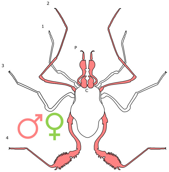 Patterns of SSD across Opiliones.