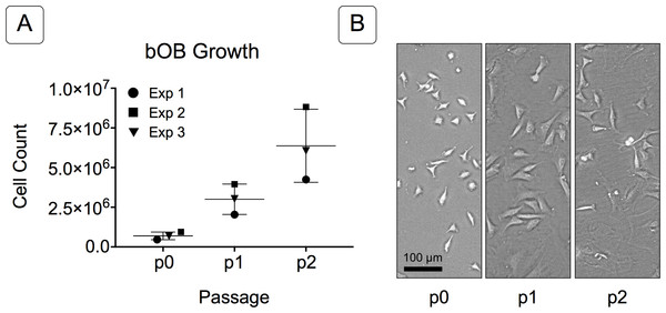 Growth of isolated basicranial osteoblasts (bOBs).