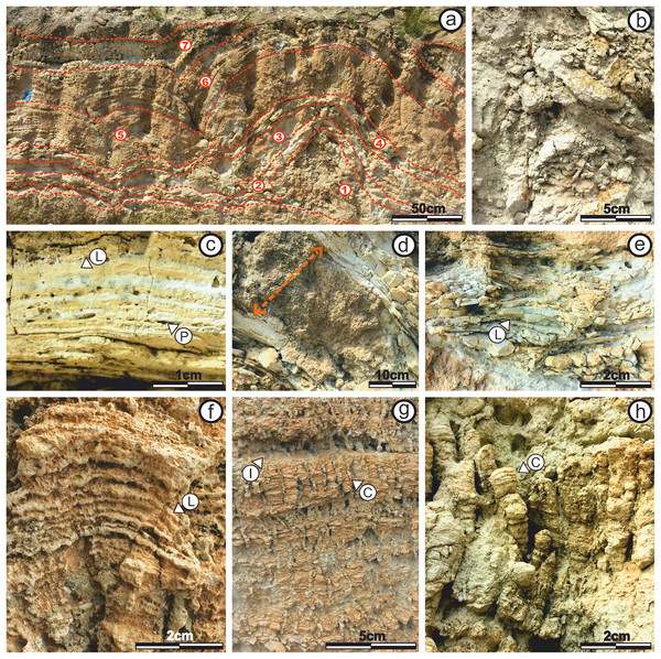Internal stromatolite morphology: characterization of subfacies.