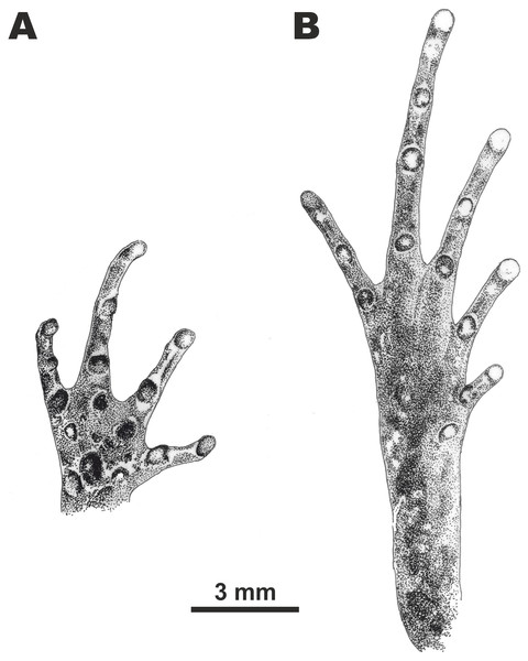 Morphological details of the male paratype of Micryletta nigromaculata sp. nov. (ZMMU A5945) in preservative.