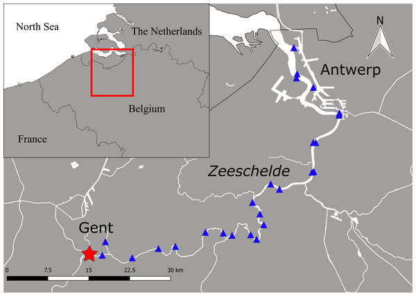 Study area with the catch location at the tidal weir in Merelbeke (asterisk) and the position of the acoustic listening stations (triangles) in the Zeeschelde.