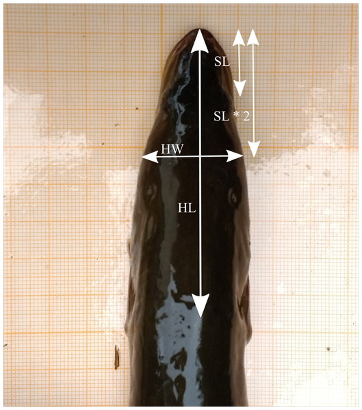 Head measurements based on the dorsal picture of an eel's head on graph paper (HL, head length; HW, head width; SL, snout length) (photo credit: Pieterjan Verhelst).