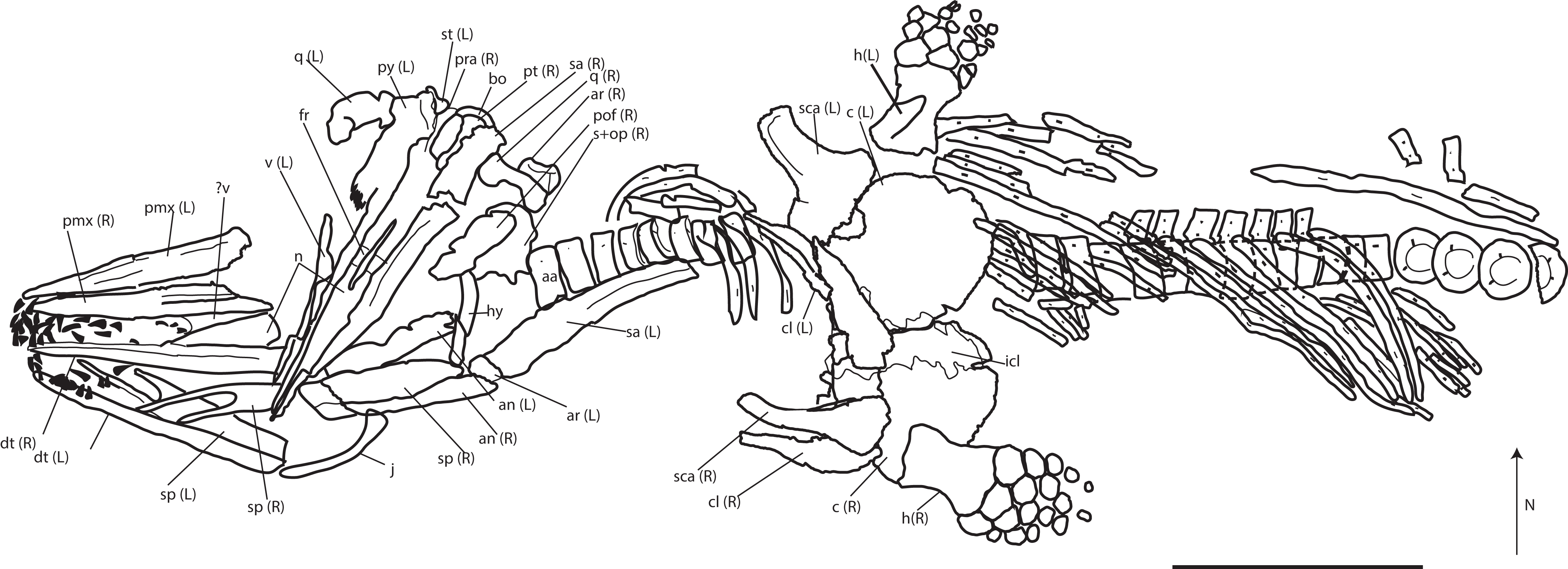 A new specimen of Palvennia hoybergeti  implications for cranial and ... 4d732802d61c