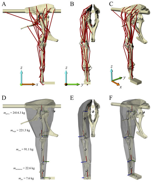 The musculoskeletal model of the Daspletosaurus hindlimb developed in this study.