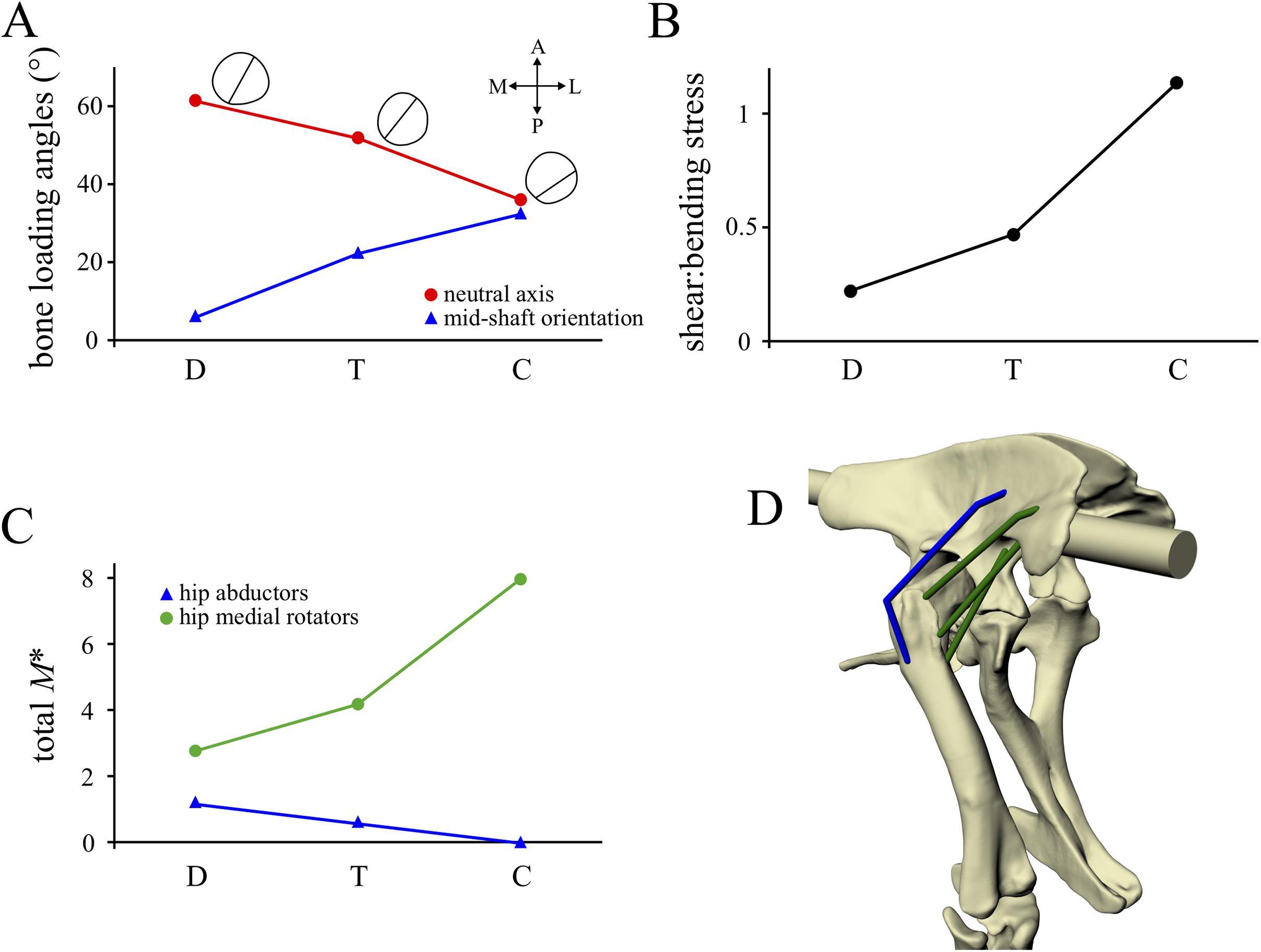 Cancellous bone and theropod dinosaur locomotion  Part III