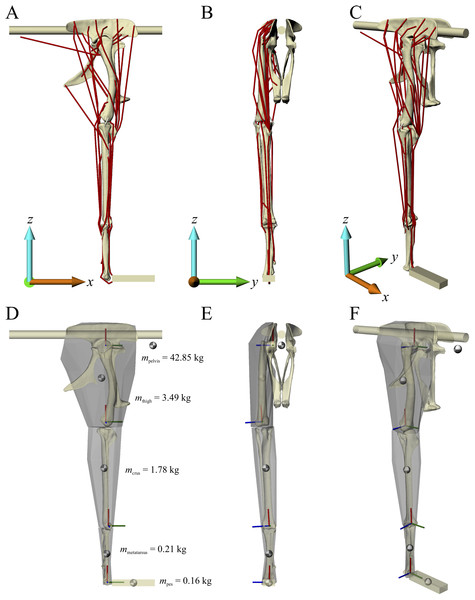 The musculoskeletal model of the 'Troodon' hindlimb developed in this study.