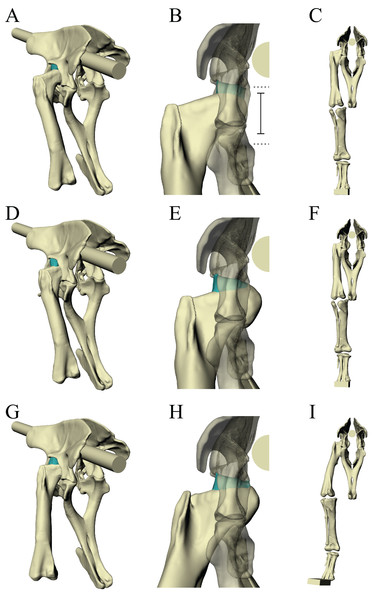 Varying the articulation of the hip joint in the Daspletosaurus model.