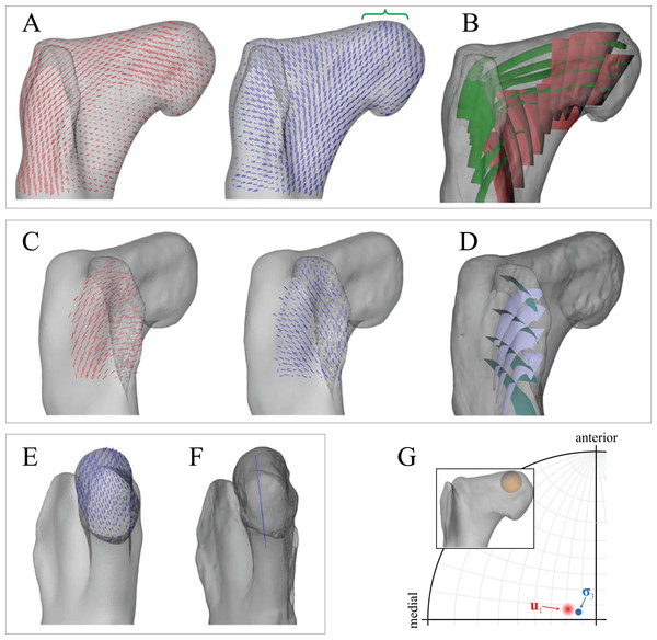 Principal stress trajectories for the proximal femur in the solution posture of Daspletosaurus, compared with observed cancellous bone fabric.