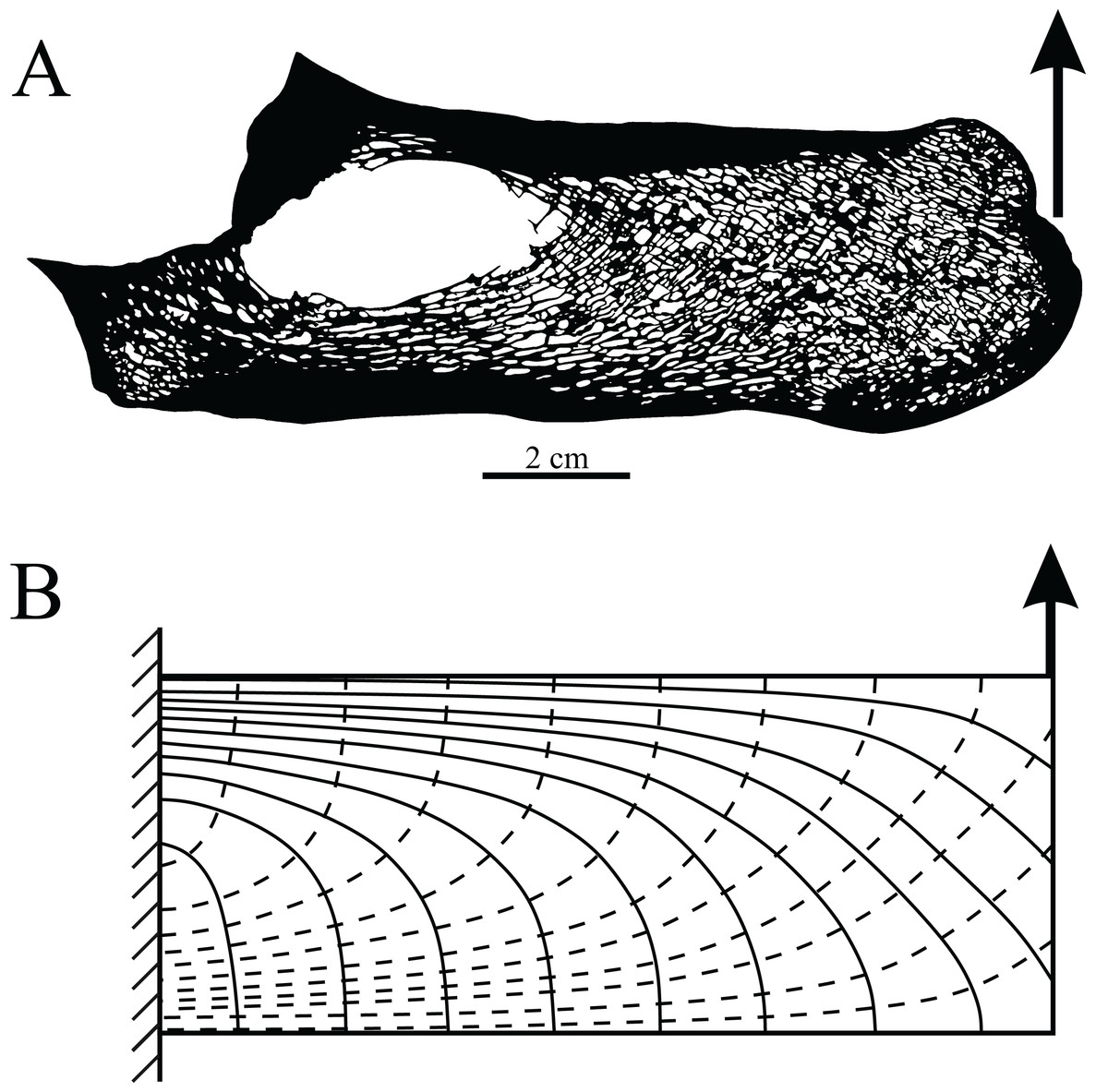 Cancellous bone and theropod dinosaur locomotion  Part I—an