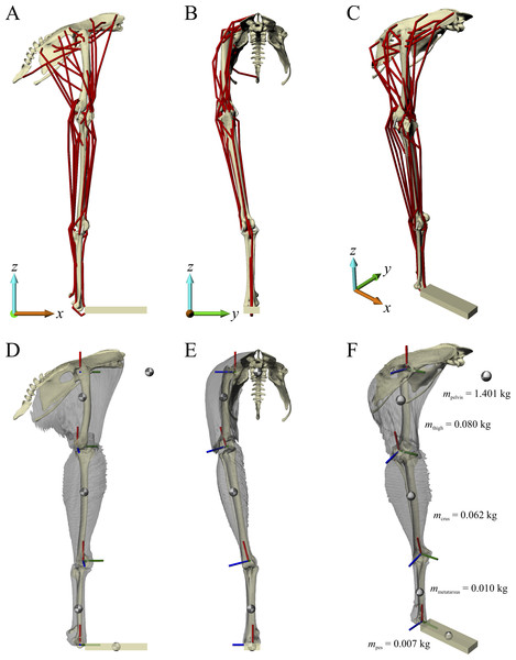 The musculoskeletal model of the chicken hindlimb developed in this study.