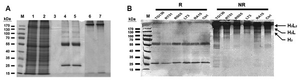 Purification of chimeric IgG antibodies transiently expressed in N. benthamiana leaves.