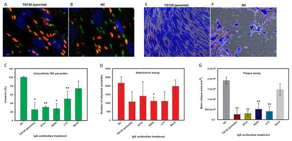IgG treatment of T. gondii parasites inhibits invasion.