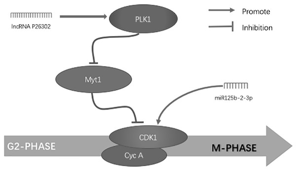 Simultaneous control of non-coding RNA on the G2/M phase of the cell cycle in hepatocellular carcinoma cells.