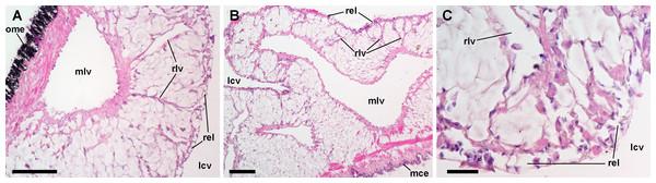 Lung microcirculation.