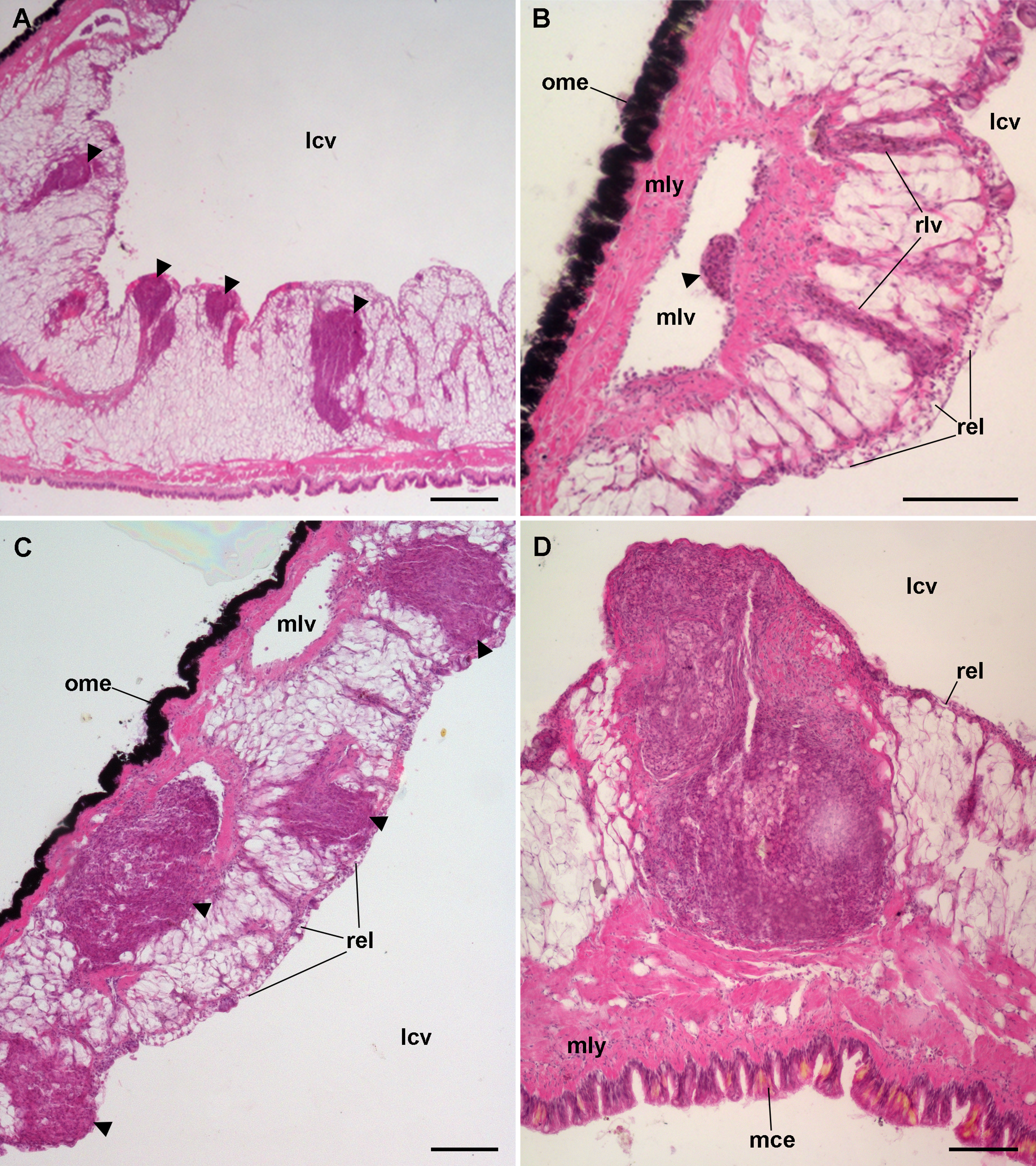 Assessment Of The Kidney And Lung As Immune Barriers And