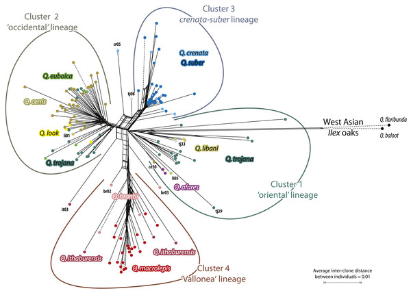 Network based on transformed 5S-IGS data showing inter-individual average (AVG) clonal distance relationships.