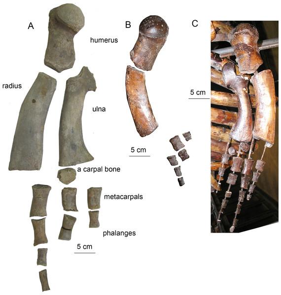 Forelimb bones of Otradnocetus.