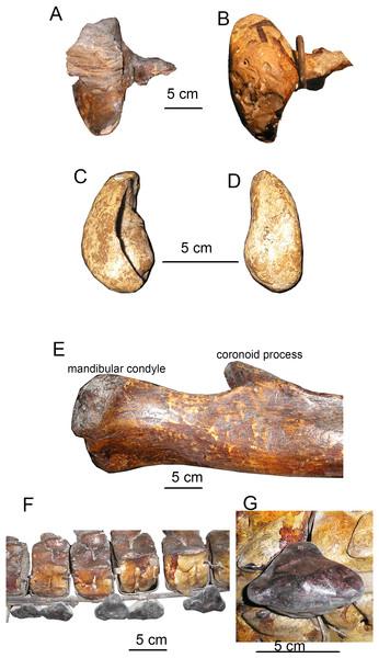 Specific features of skeleton of Otradnocetus sp., VSEGEI 2401.
