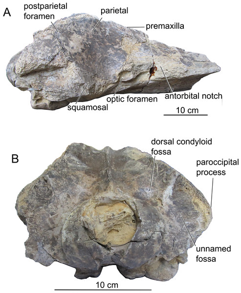 The skull of Ciuciulea davidi, ZIRM V 28/1, from the Middle Miocene of Moldova (holotype) (cont.).