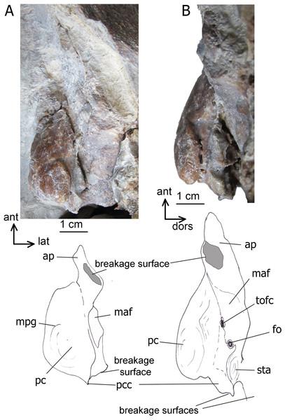 The left periotic bone of Ciuciulea davidi, ZIRM V 28/1 (holotype).