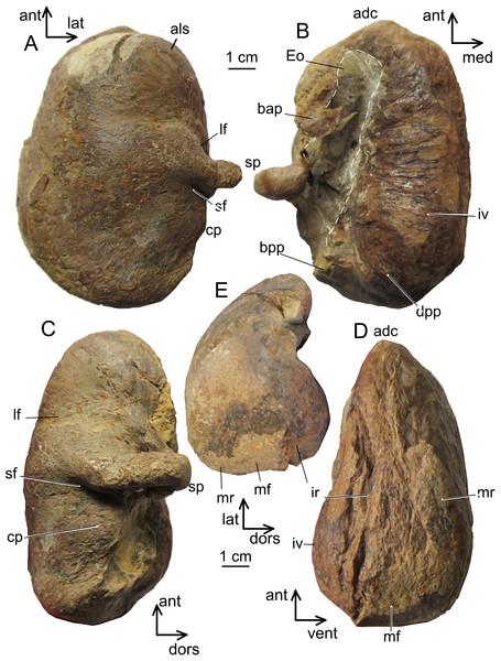 The left tympanic bulla of Ciuciulea davidi, ZIRM V 28/1 (holotype).