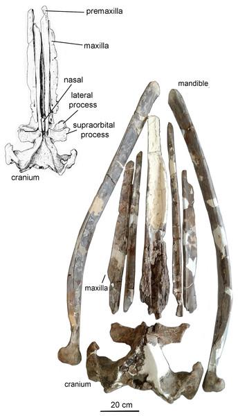 The skull and mandibles of Otradnocetus virodovi, GNM CO-1–3.