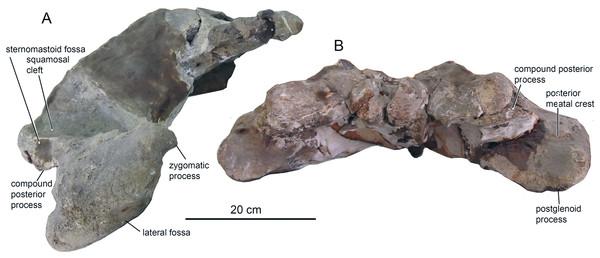 The skull of O. virodovi, GNM CO-1 (cont.).